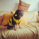 PET COSTUMES, COSTUMES FOR CATS & KITTENS; BEE COSTUME, Full grown cat in a bee costume