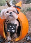 twiggy pumpkin dog tricks for treats halloween costume