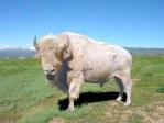 white buffalo, bison