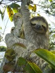 sloths, pygmy sloths, animals, endangered animals