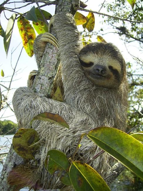 pygmy sloth, sloths, animals, endangered animals