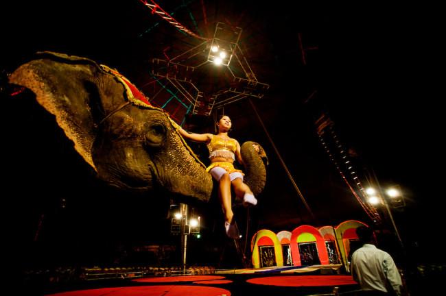 elephants, ankuses, circus, circus abuse, animal abuse
