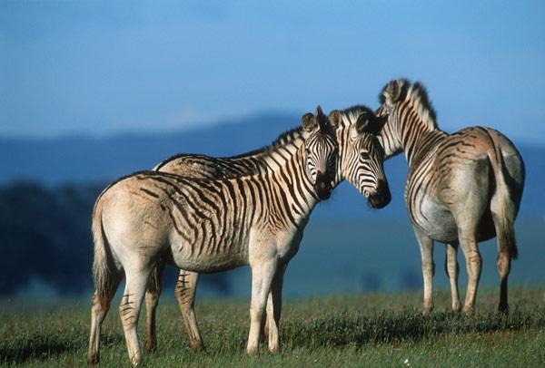 black rhinos, endangered species list, extinct animals