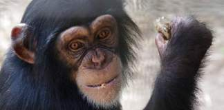The Humane Society of the United States saved Arden and a number of chimps from captivity.