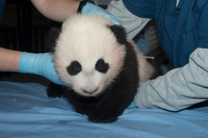 Bao Bao was born at the National Zoo in 2013. Photo Credit: Abby Wood, National Wood