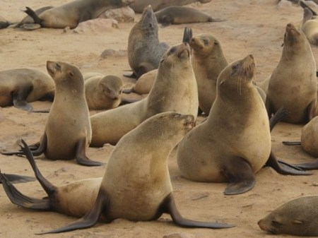 The Seals Of Nam asks South Africa to continue the ban on sealing. Photo Credit: sabreakingnews.co.za (ANIMAL WELFARE)