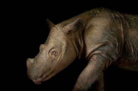rhinos, sumatran rhinoceros, endangered animals, endangered species, pictures of animals, wildlife photography, animal photography