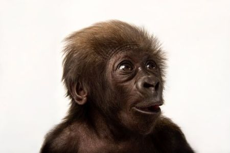 endangered animals, endangered species, gorillas, animal photography, wildlife photography, pictures of animals, monkeys