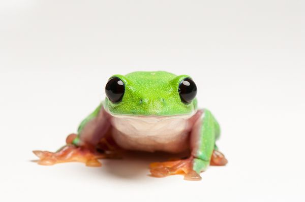 frogs, endangered species, endangered animals, wildlife photography, animal photography, photography, pictures, animals