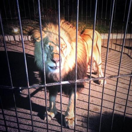 Lion at Meek Mill's after party used as a photo prop. Photo credit: @KarenCivil