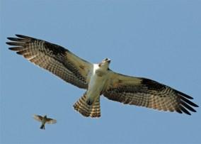 osprey, seahawks, animal mascot, pictures of animals, birds
