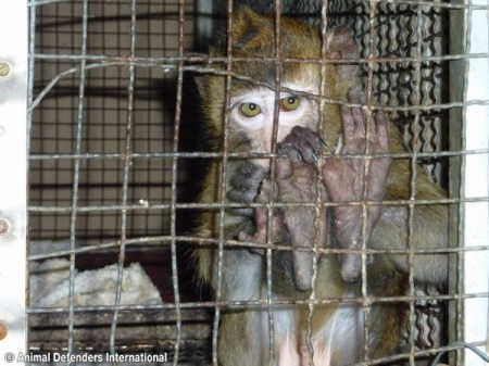 Dozens of monkeys have died at Charleston lab due to hypothermia. Photo Credit: ADI
