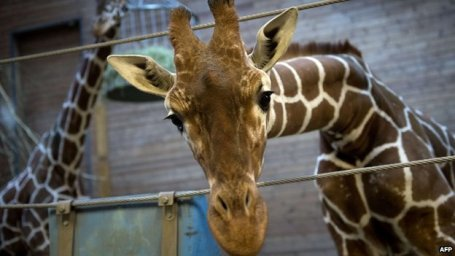 Marius, a healthy young giraffe who was shot dead and publicly autopsied at Copenhagen zoo on Feb. 9, 2014, is seen two days before the slaughter. Photo Credit: Getty