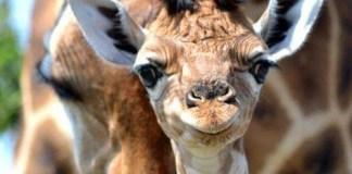 giraffes, denmark, copenhagen zoo, marius the giraffe, jyllands park zoo, zoos, animal cruelty, animal abuse, animal welfare, wildlife