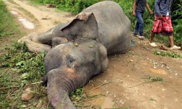 sumatran elephants, elephants, ivory trade, poaching, poisoning, palm oil plantations, endangered animals, endangered species