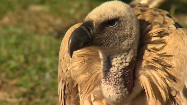 Vulture close-up, predatory bird
