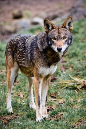 endangered species, endangered animals, wolves, red wolves, wolf, AWI, North Carolina, pictures of animals