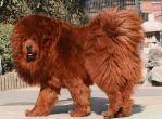 Tibetan Mastiff, large dogs, big dogs, dog breeds, cuddly animals