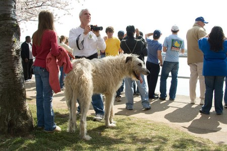 Irish Wolfhounds, dogs, dog breeds, large dog breeds, tall dog breeds