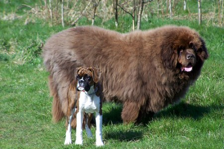 Newfoundland, dog breeds, large dogs