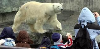 Zoos, Polar Bears, Anton, Polar Dies in German Zoo, Animal right, animal cruelty