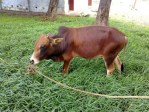 mini animals, tiny animals, baby animals, rare animals, exotic animals, cows, pictures of animals