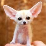 fennec mini fox