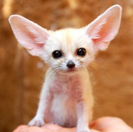 mini animals, tiny animals, baby animals, rare animals, exotic animals, foxes, pictures of animals