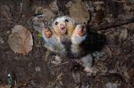mini animals, tiny animals, baby animals, rare animals, exotic animals, anteaters, pictures of animals