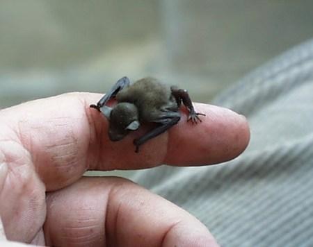 mini animals, tiny animals, baby animals, rare animals, exotic animals, bats, pictures of animals