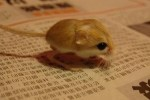 mini animals, tiny animals, baby animals, rare animals, exotic animals, jerboas, pictures of animals
