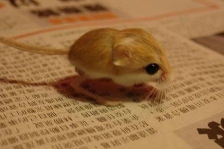 mini animals, tiny animals, baby animals, rare animals, exotic animals, jerboas, pictures of animals