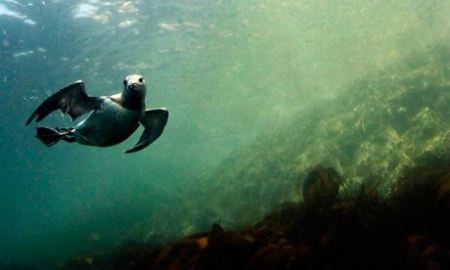 A guillemot swims underwater by the Farne Islands off the Northumberland coast, northern England./Photo credit: Nigel Roddis/Reuters