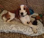 Beagles, animal testing, dogs, BUAV