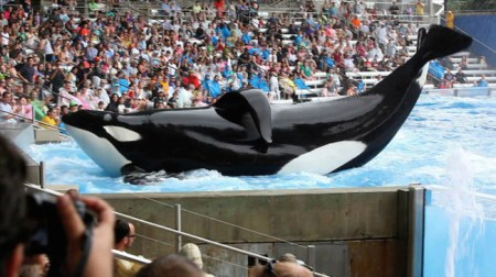 "CNN's 2013 film ""Blackfish,"" a documentary exposing the cruel treatment orcas at SeaWorld endure, sparked outrage all over the world./Photo credit: Magpictures.com"