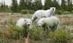 Climate change impact on wildlife : Polar bears south of Churchill