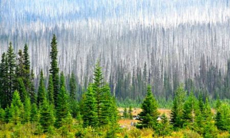 Young, healthy pine trees stand in stark contrast to the pines killed by pine beetles near Radium Hot Springs, eastern British Columbia, Canada. Photograph: Udo Weitz/Getty images