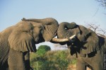 south african elephants, ivory tusks