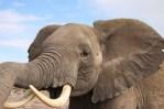Elephant in Kenya Amboseli National Park