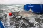 lydia great white shark on research boat atlantic ocean