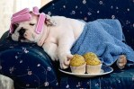 pampered english bulldog, cute dog picture