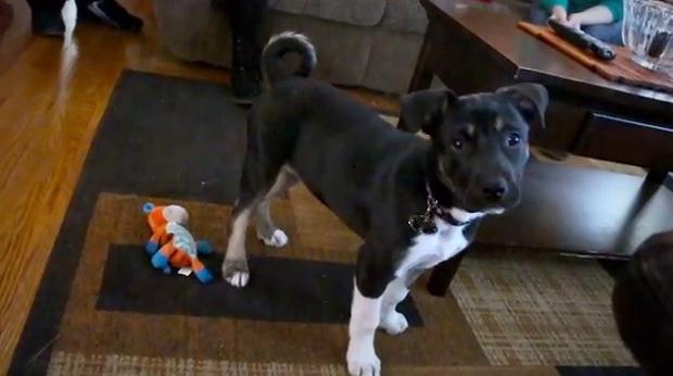 dogs, puppies, pets, husky, huskies