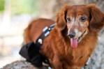 Chewbacca dog dachshund