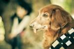 Dachshund dog dressed like star wars chewbacca