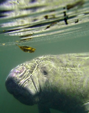 Manatees are onee of the only mammals that don't eat meat. Photo Credit: Buzzfeed