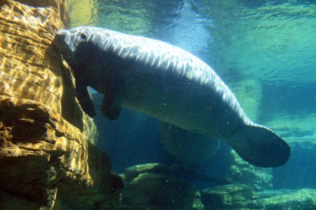 Manatees can survive in both freshwater and saltwater. Photo Credit: Buzzfeed