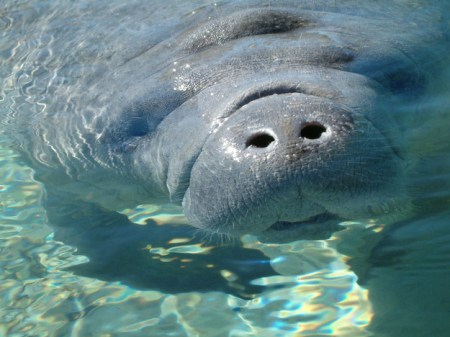 Manatees live in water but must surface to breathe. Photo Credit: Buzzfeed