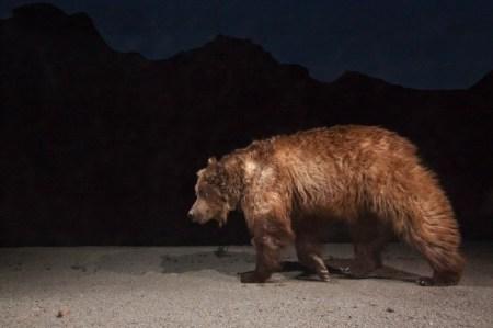 gobi desert, gobi bear, bears, endangered species, endangered animals, rare animals, conservation, threatened species, china, mongolia