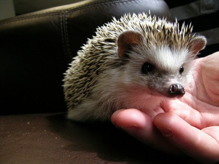 Hedgehogs, cute animals, hedgehog facts