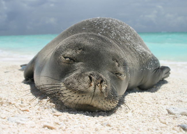 hawaii, hawaiian monk seals, seals, monk seals, wildlife, endangered species, endangered animals, wildlife conservation, wildlife sanctuary, wildlife, oceans, animal welfare